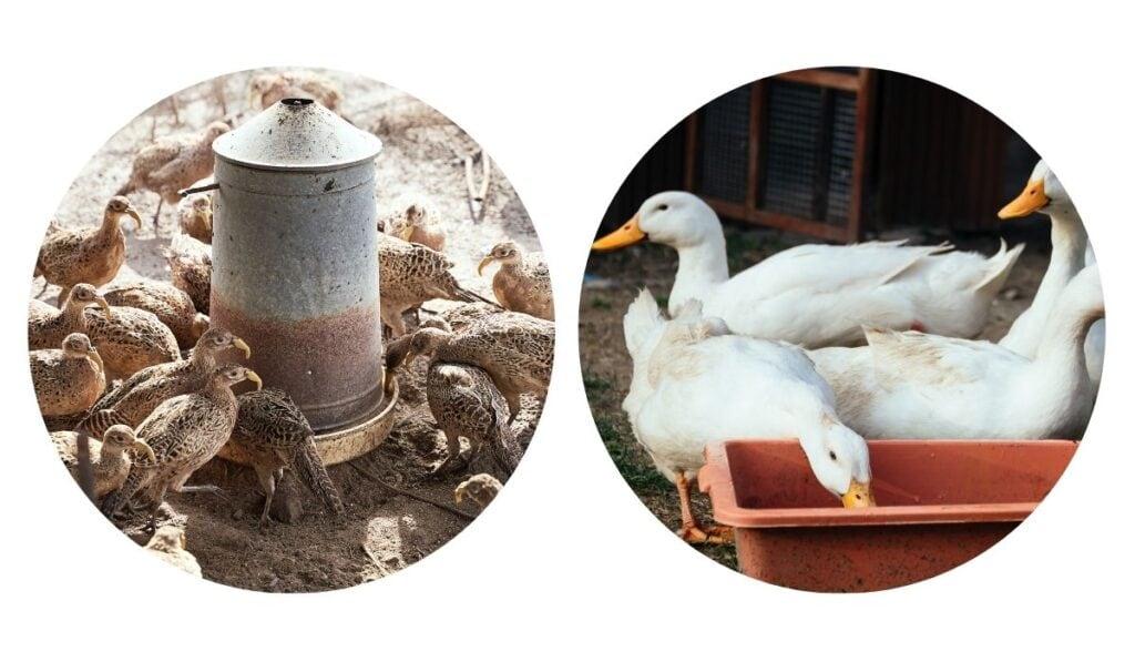 separate feeding of ducks and pheasants