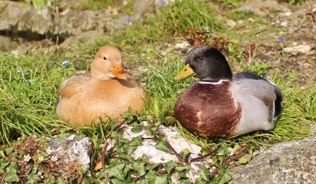 Call ducks sitting on the ground