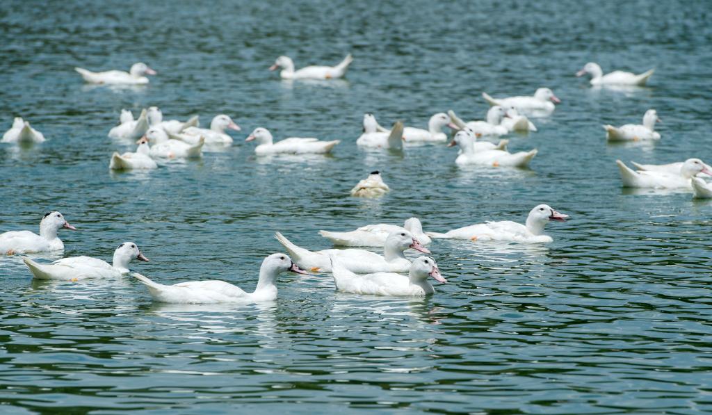 Ducks swimming in the lake.