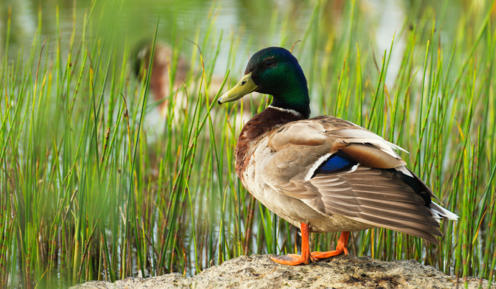 Duck standing on the stone