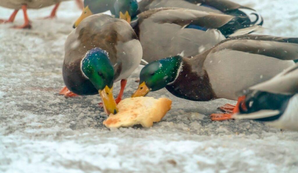 Ducks Eating Bread in Winter