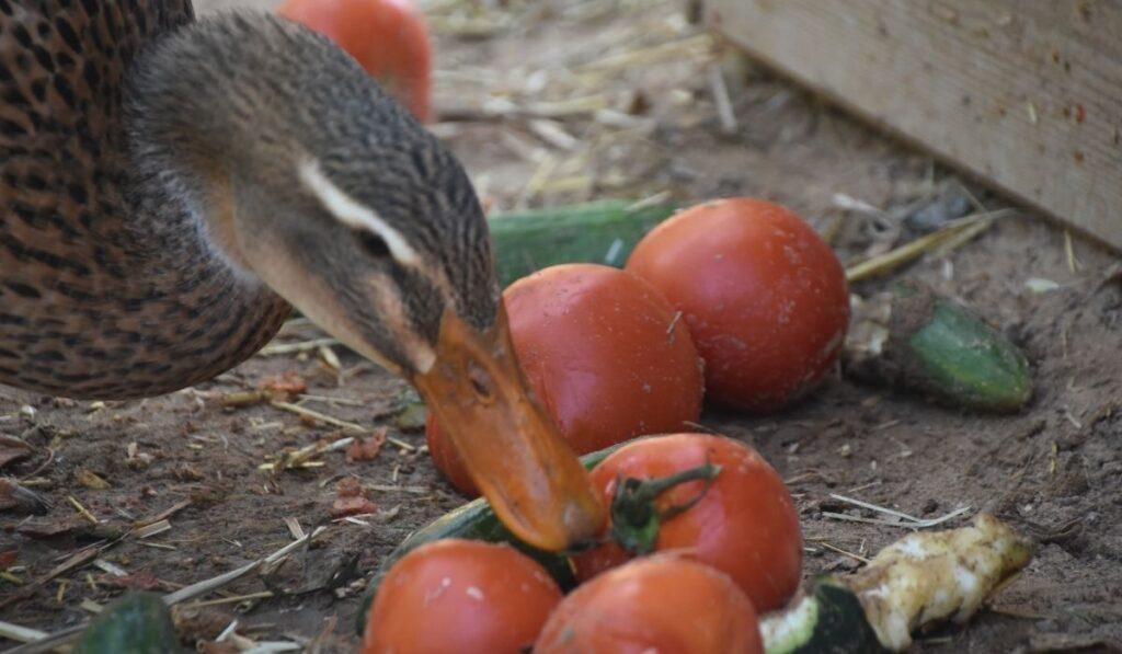Ducks Eating Fruits