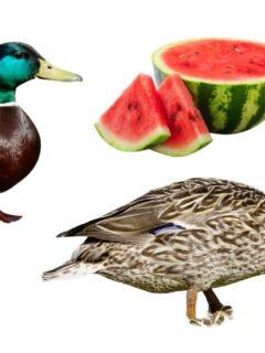 Ducks and watermelon