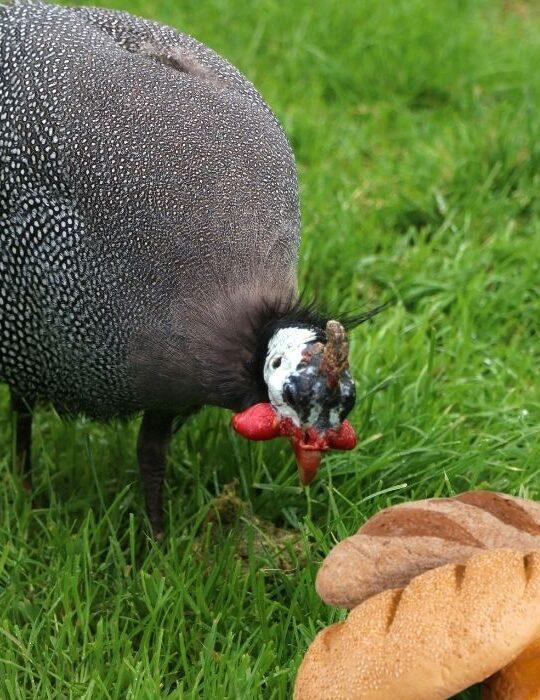 Guinea-Fowl-Eat-Bread
