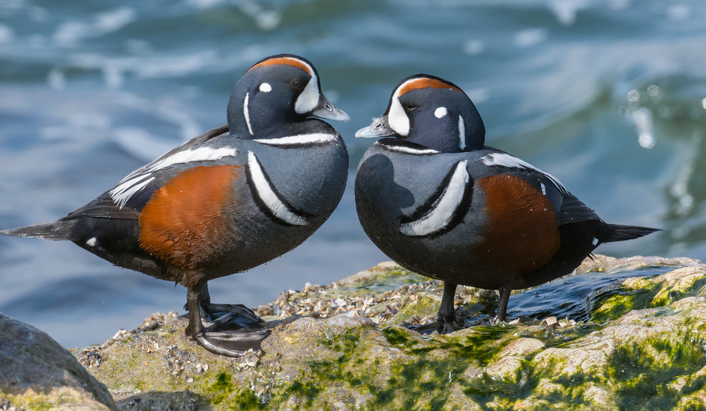 Two Harlequin Duck standing on the rock