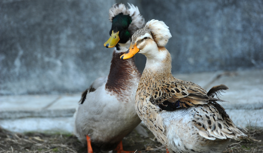 Two ducks standing with tufted head feather