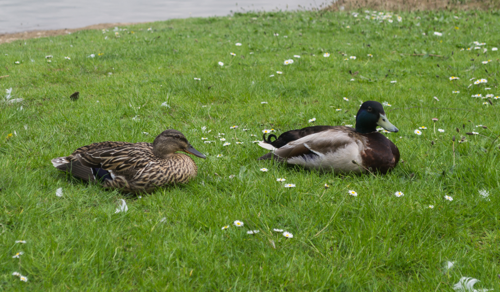 Two Silver Bantam Ducks sitting on the green grass