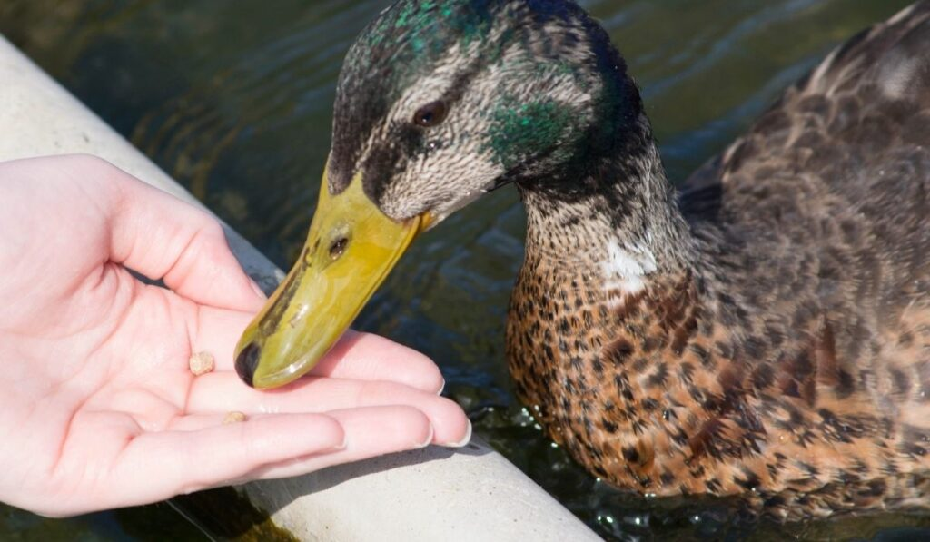 duck eating from a hand