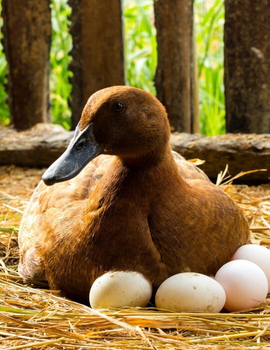 duck-incubates-her-eggs-on-the-straw-nest
