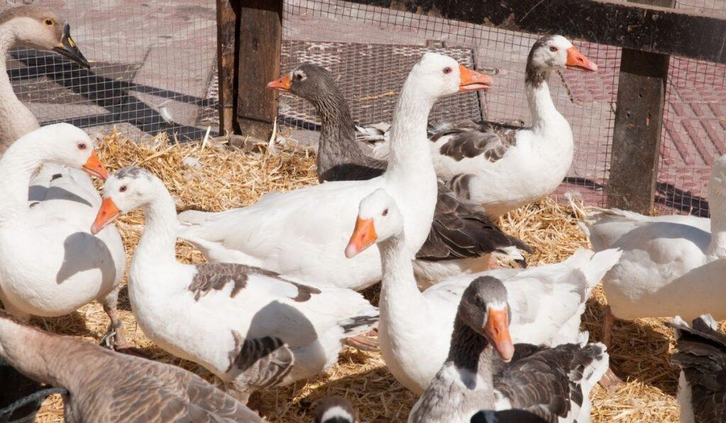 ducks in a pen