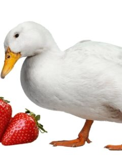 white-duck-look-at-the-strawberries