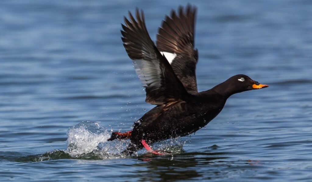 white winged scoter in the sea