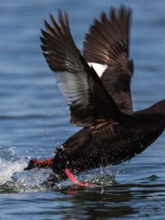 white-winged-scoter-in-the-sea