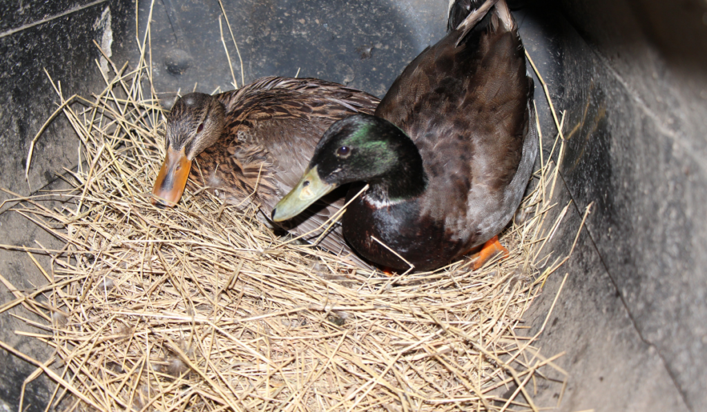 Duck-sitting-on-the-eggs