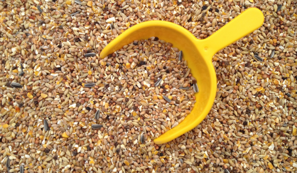 Chicken feeds with yellow scoop