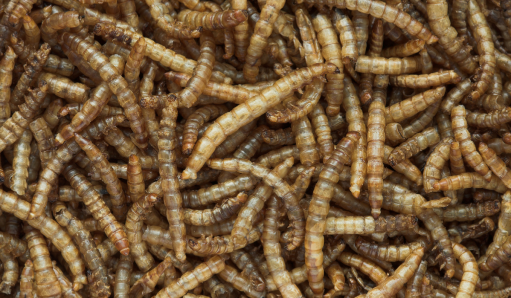 Close up picture of mealworms