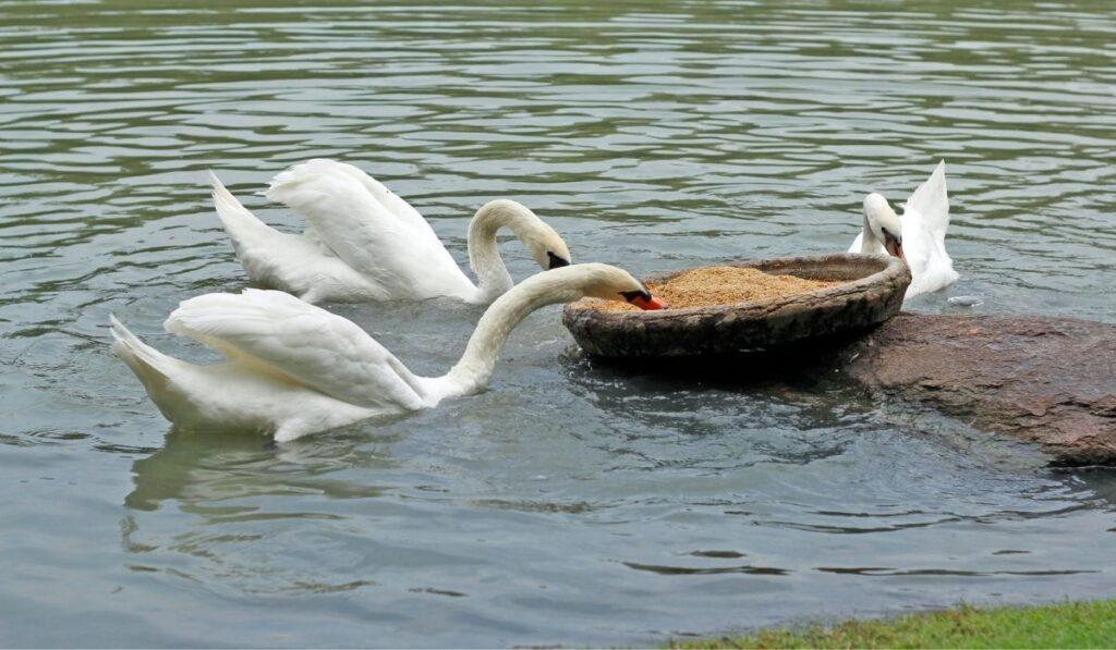 three geese eating in a pond