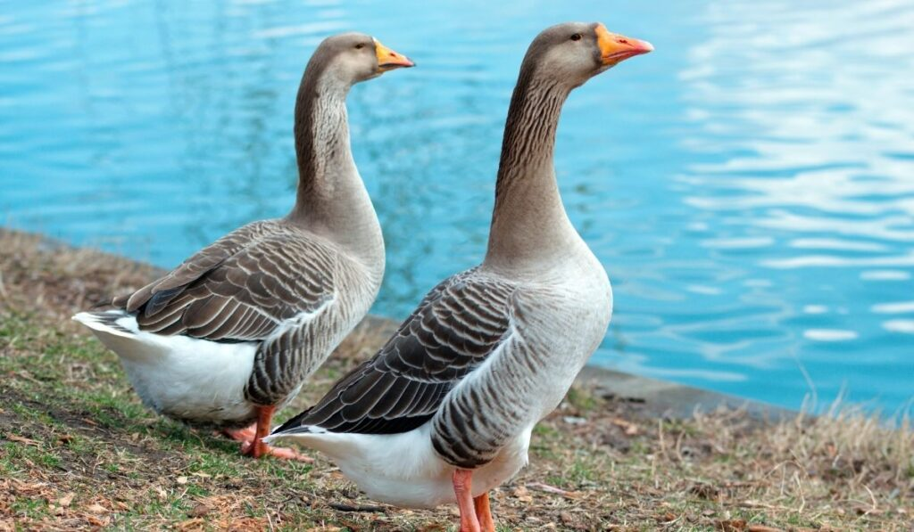 two-geese-near-the-water