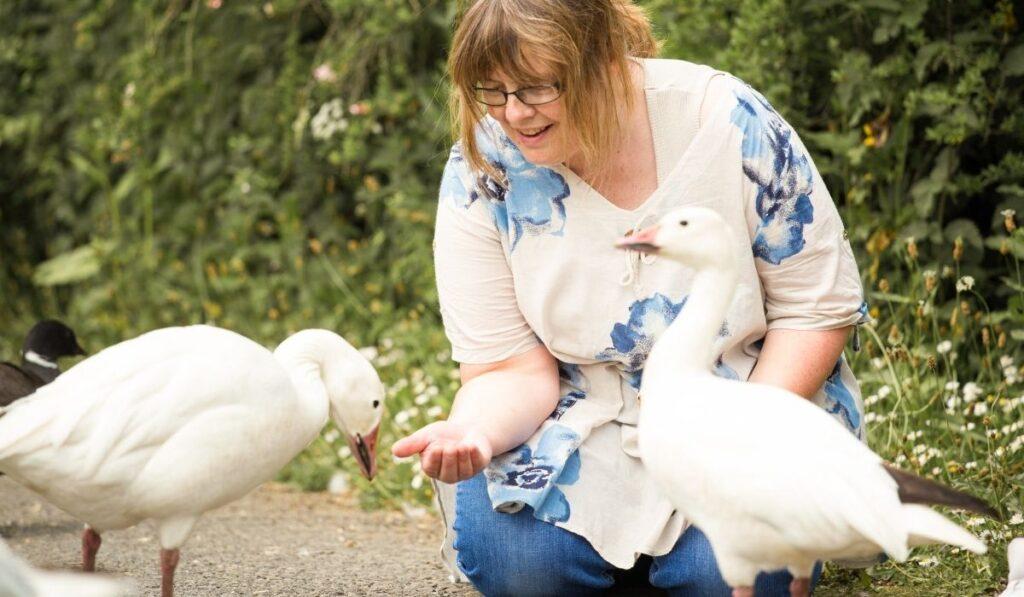 woman hand feeding two geese