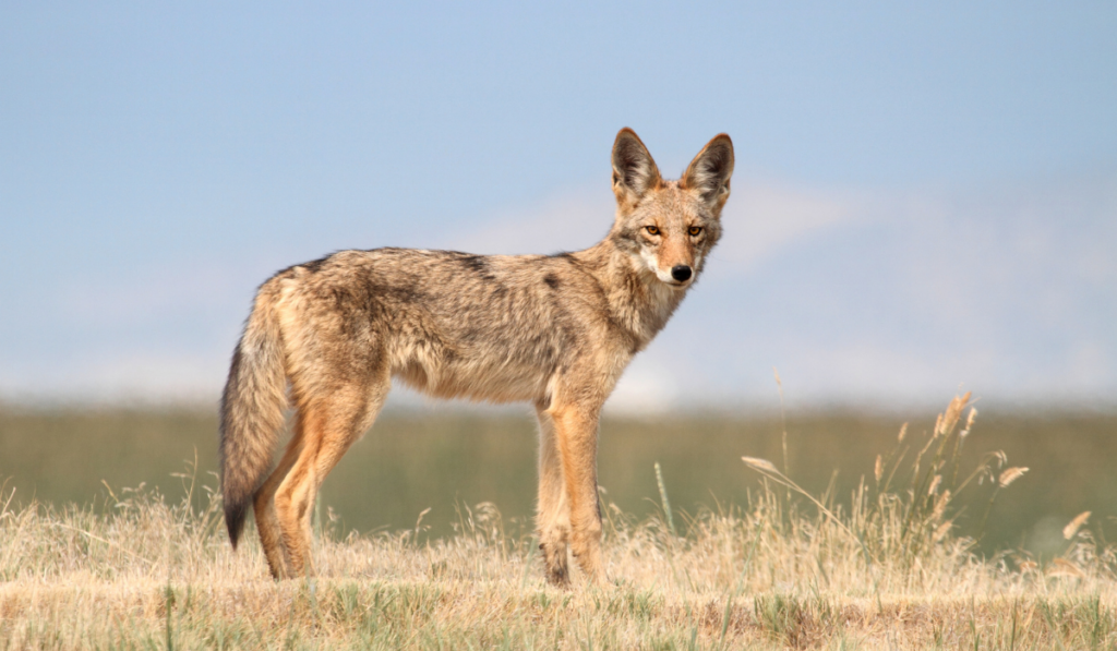 A coyote standing in the field with the blue sky as the background.