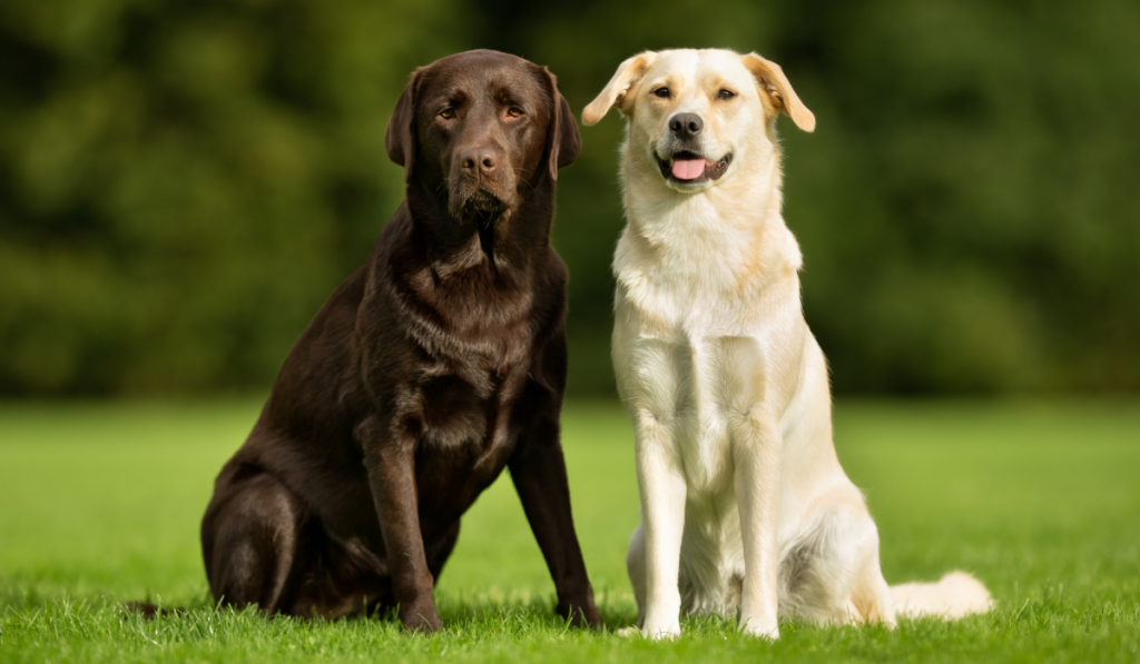 Two dogs sitting in the green field.