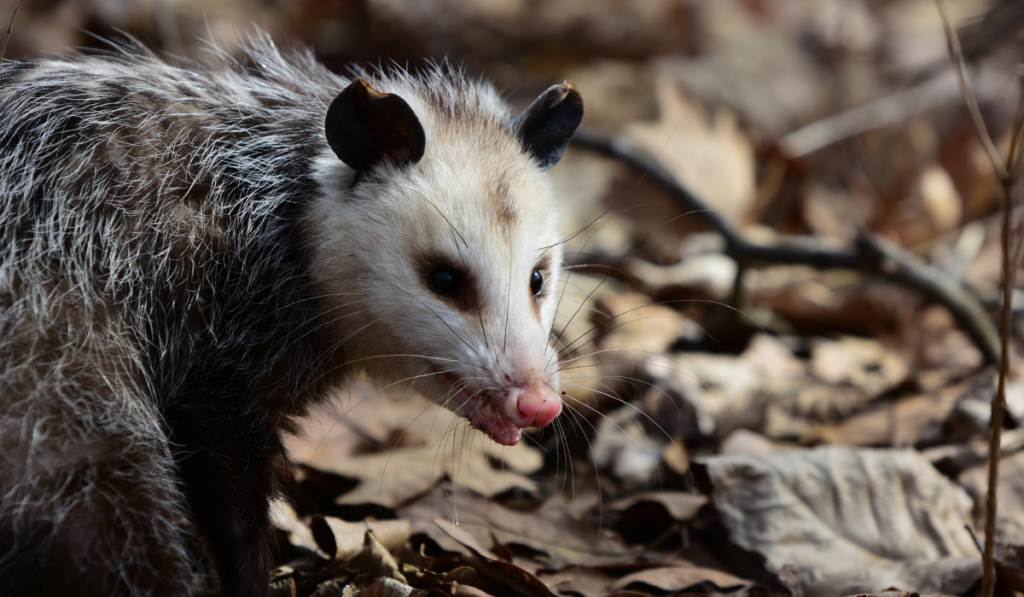 An opossums on look out for food.
