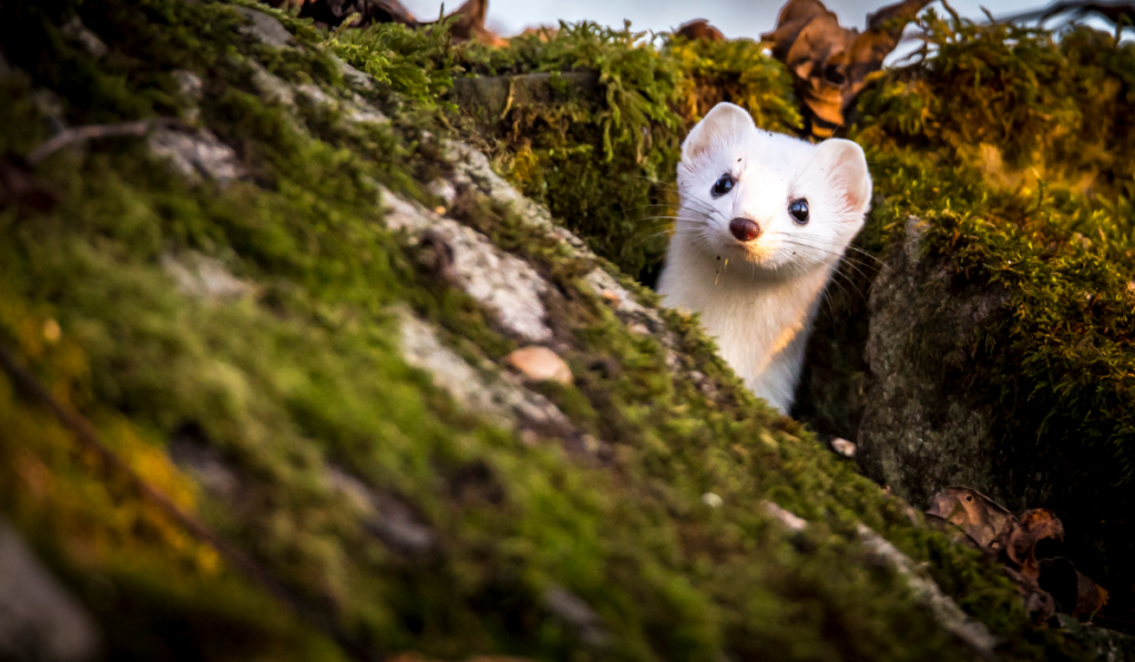 A cute weasel sticking its head out.