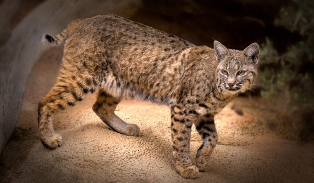bobcat on a rock