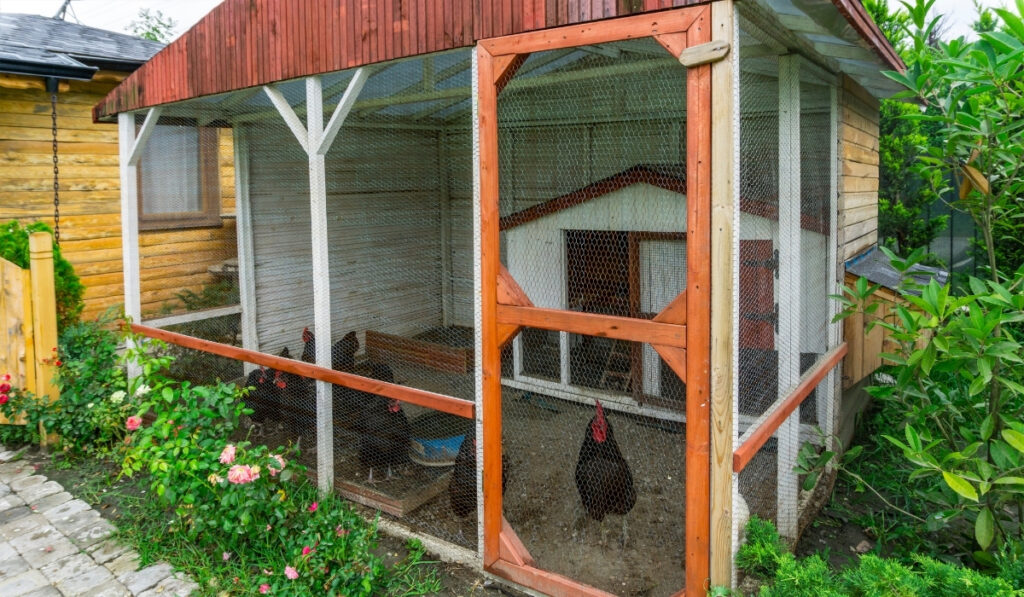 chickens inside the chicken coop