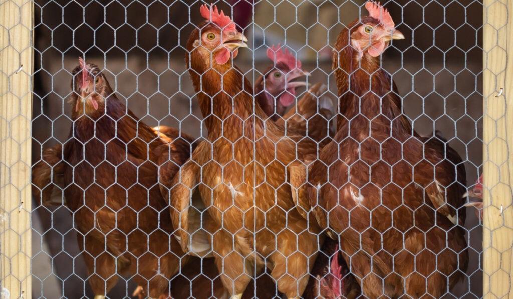 chickens perch behind chicken wire door