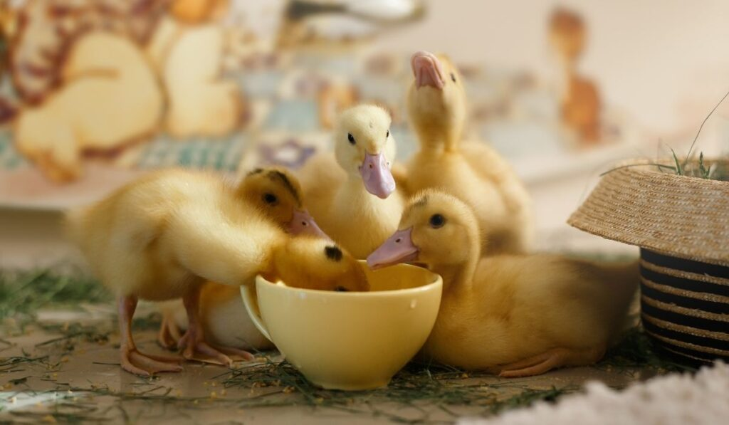 ducklings drinking water