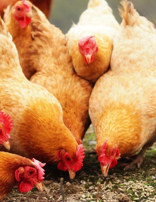 feeding-pastured-raised-chickens