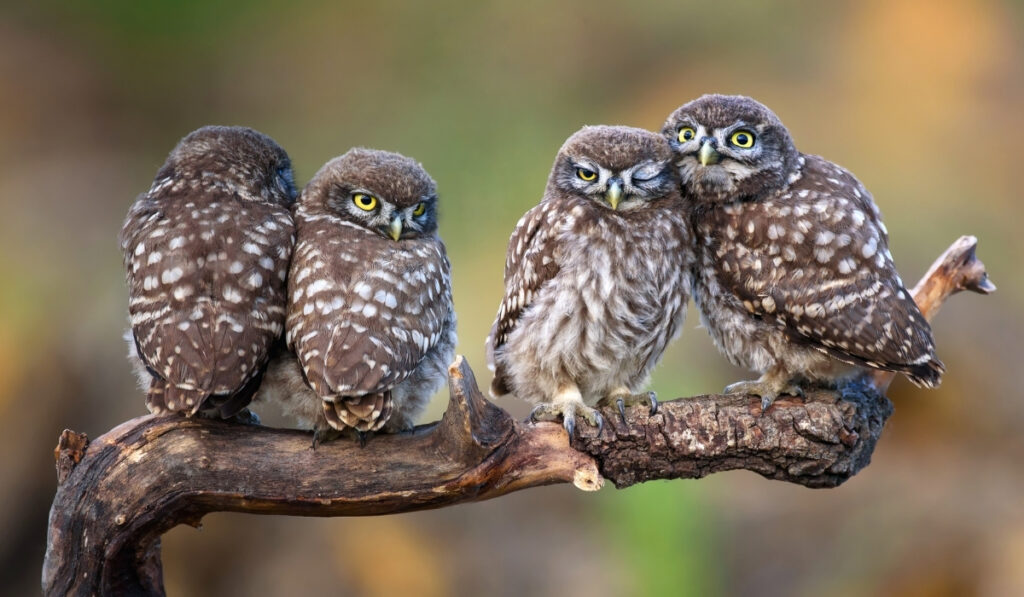 four-little-owls-sitting-in-pairs-on-a-branch