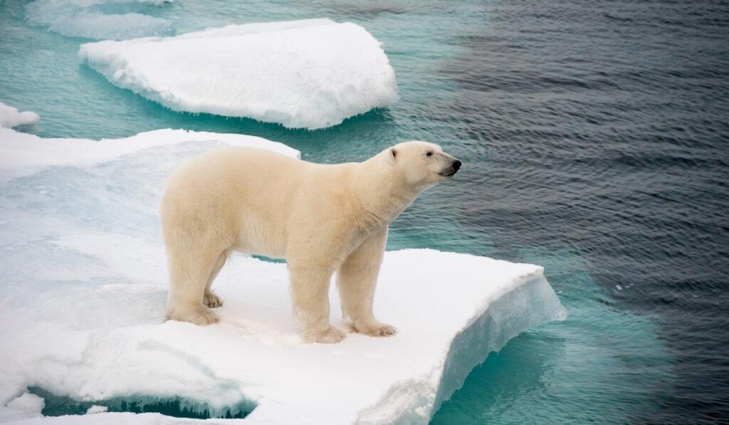 polar-bear-walking-on-sea-ice