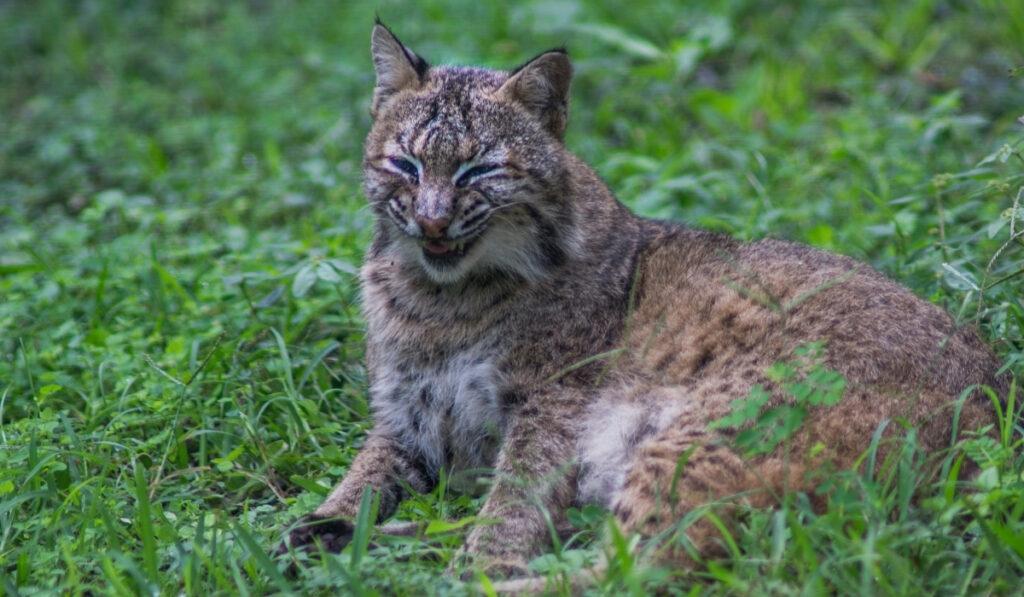 smiling-florida-bobcat