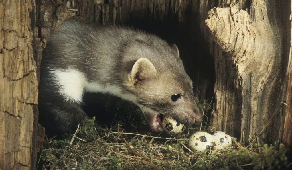 weasel stealing eggs from the nest