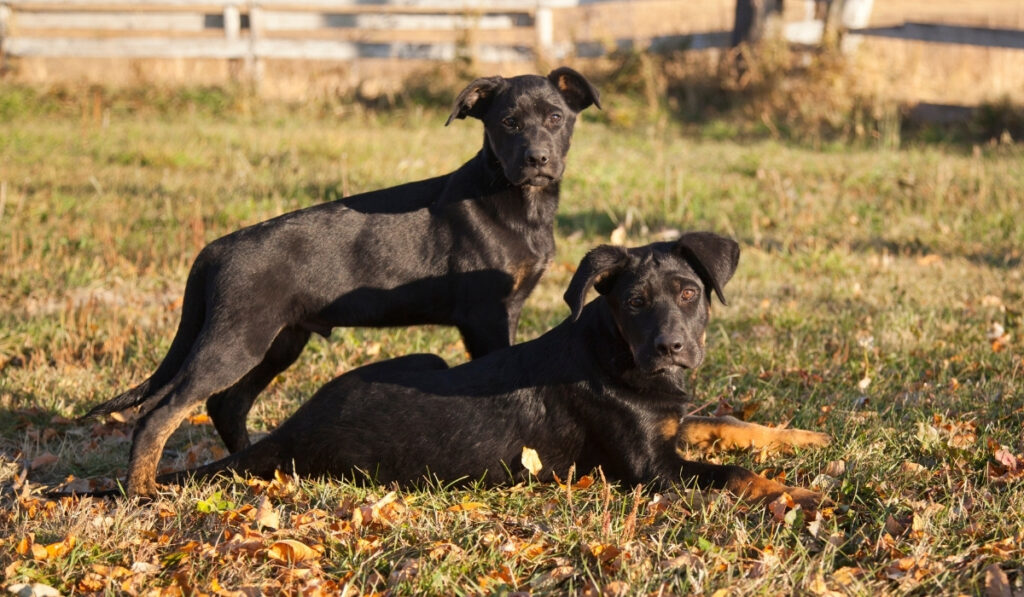 young dogs in the farm