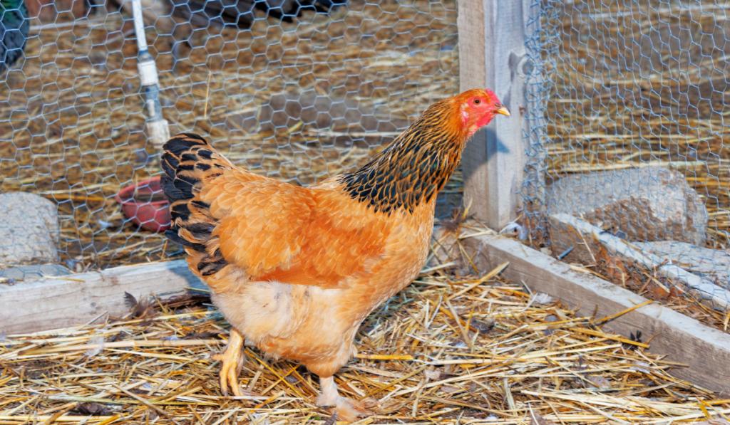 A brown chicken walking inside the pen