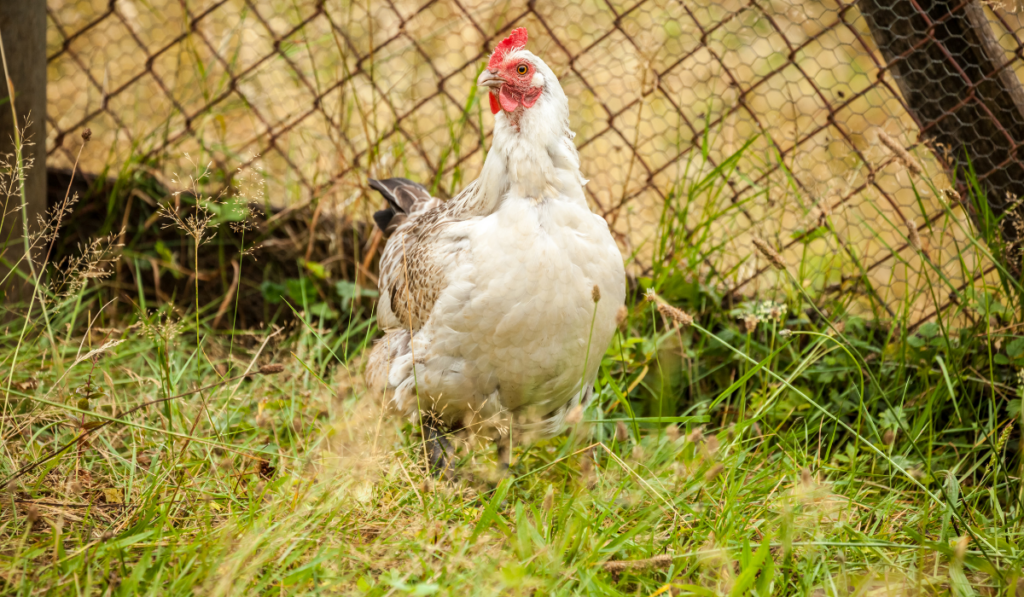 A white chicken standing in the grass.