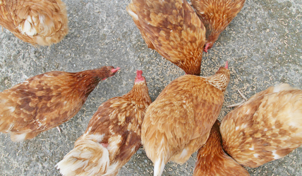 chickens eating grains