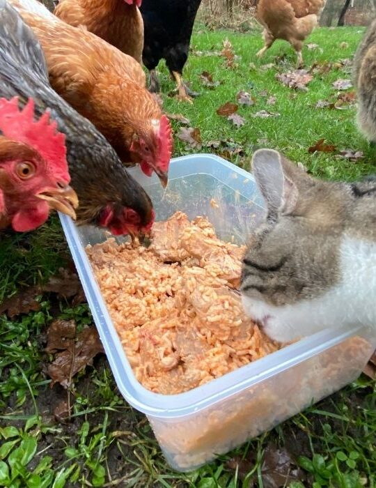 chickens and a cat eating rice