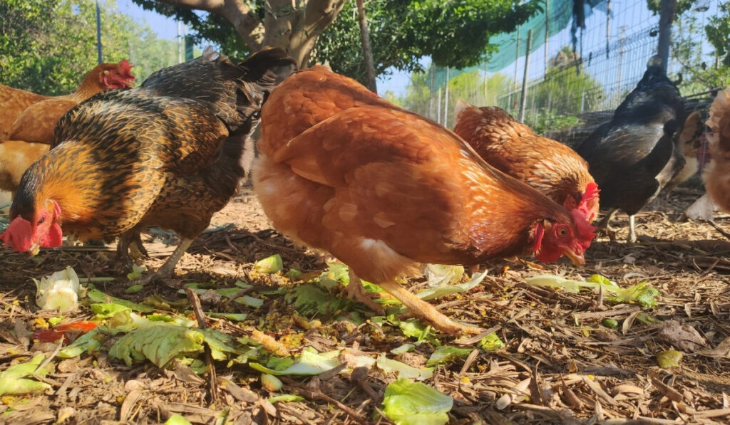 chickens eating in the field
